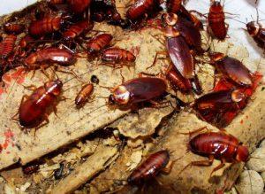 cucarachas-1