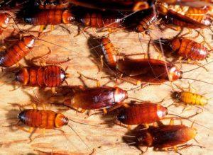cucarachas-4